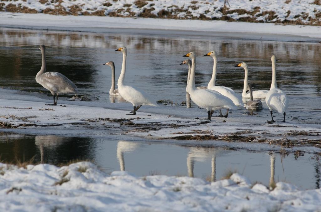 Svanar uppströms Kvillsfors