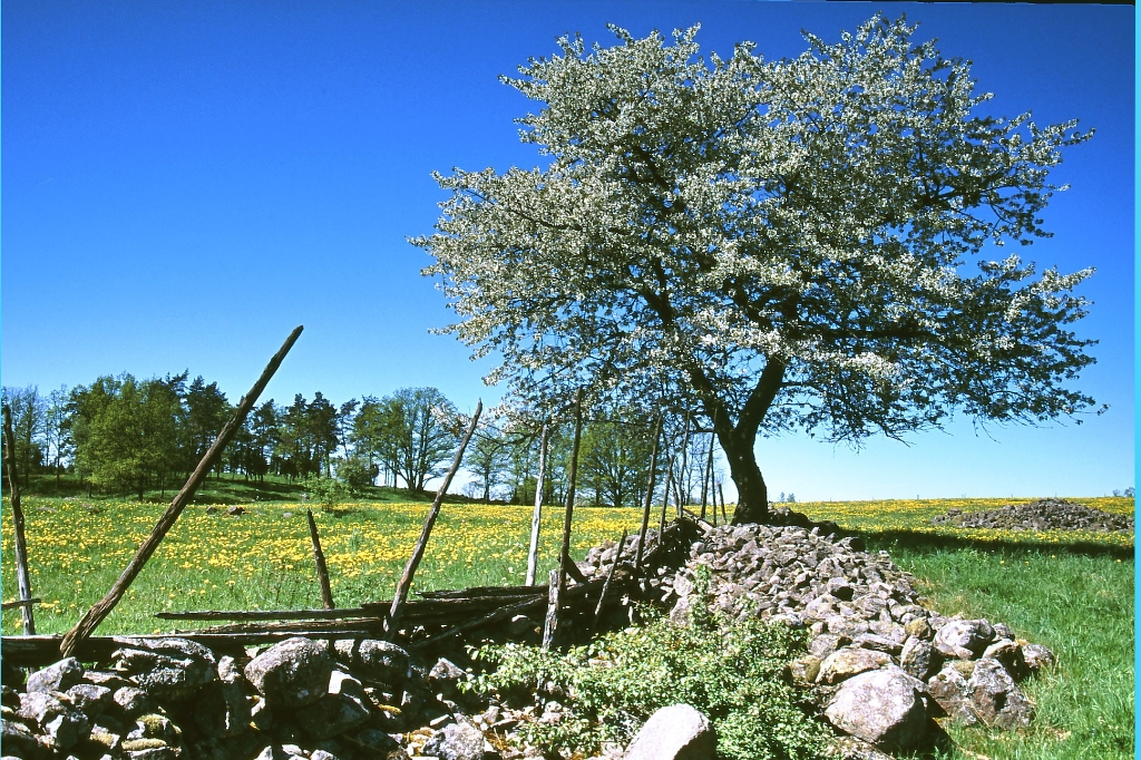 Torpa körsbärträd i blom